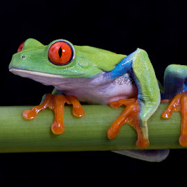 Red eyed tree frog by Angi Wallace - Animals Amphibians ( colorful, red eyed tree frog, frog, creature, pet, amphibian, agalychnis callidryas, arboreal, cute, animal )