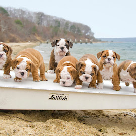 Bevy of Bulldog Pups by Lisa Bibko-Vanderhoop - Animals - Dogs Puppies ( martha's vineyard, puppies, sailing, seadogs, beach )