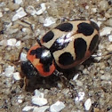Seaside Lady Beetle