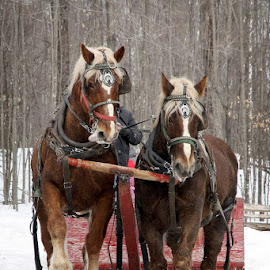 Beautiful, big horses pulling the sleigh... by Amy O'Connor - Animals Horses