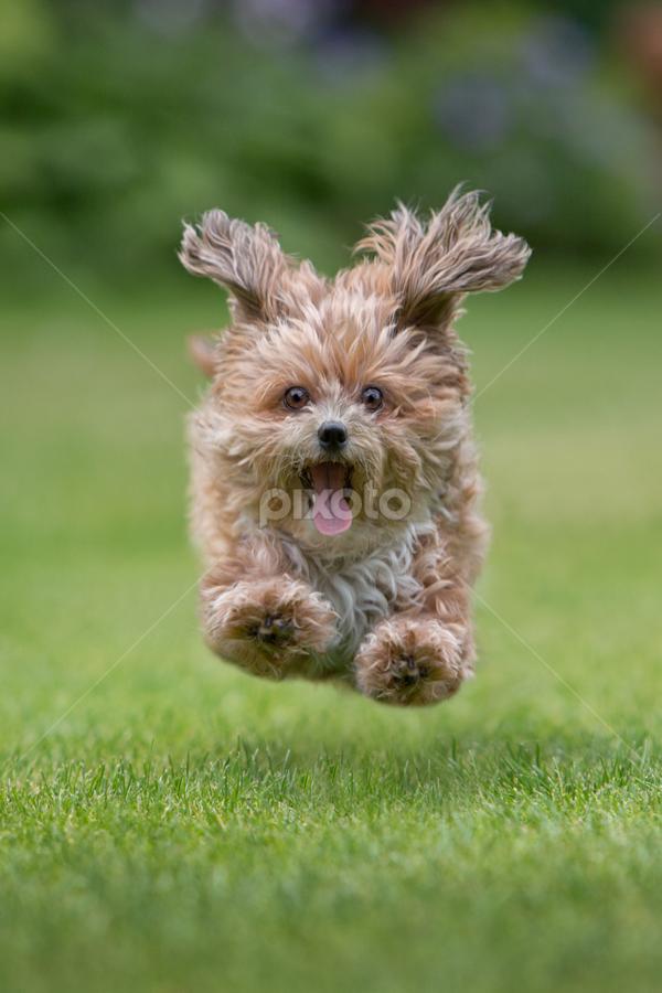 by Michael Milfeit - Animals - Dogs Running ( flying, bolonka, hund,  )