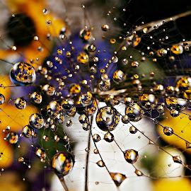Evening Dance Of The Flower Beads by Marija Jilek - Nature Up Close Natural Waterdrops ( water, a seed, nature, goat-beard, plants, natural waterdrops, beads, evening, dance )