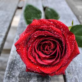 Rose by Jeanne Knoch - Flowers Single Flower (  )