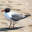 Gaviota reidora. Black-headed gull