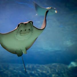 Smile for the camera by Jack Brittain - Animals Sea Creatures ( nature, canada, toronto, aquarium, manta, ocean, ontario, animal )
