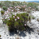 Spiny Thrift (Cravo-das-areias)