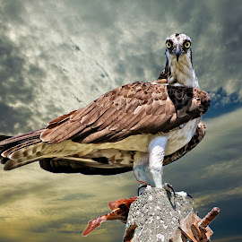 Osprey with fish by Sandy Scott - Digital Art Animals ( birds of prey, hunting birds, florida birds, raptor, fish eating birds, bird with fish, osprey,  )