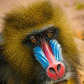 by Mark Breiling - Animals Other Mammals ( phoenix zoo, animals, wildlife,  )