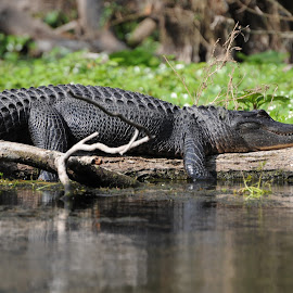 Catching some rays by Brian Spooner - Animals Reptiles ( alligator )
