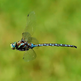 Blue Darner Dragonfly by Liz Crono - Animals Insects & Spiders ( flight, blue, insects, dragonfly )