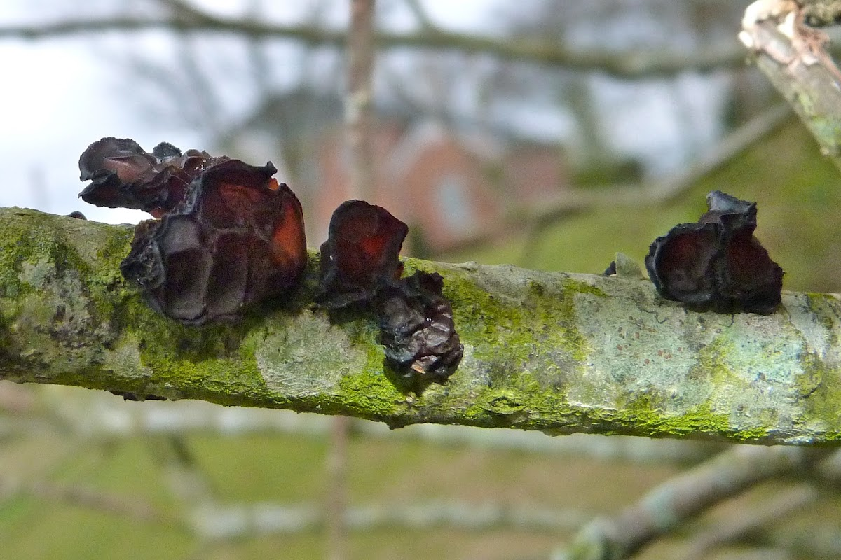 Judas' ear fungus
