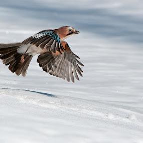 Ghiandaia by Rigotti Jacopo - Animals Birds