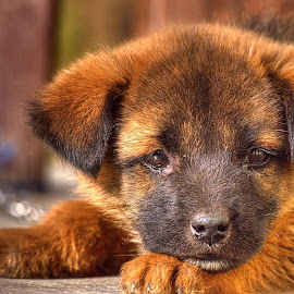 The GSD Puppy by Sudipto Bhaumik - Animals - Dogs Puppies (  )