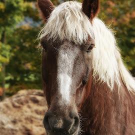Belgian by Nancy Merolle - Animals Horses