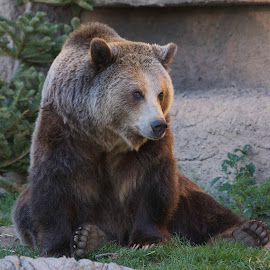 Sad Brown Bear by Wade Tregaskis - Animals Other Mammals ( bear, grizzly, depressed, zoo, sad, forlorn, bored, brown )