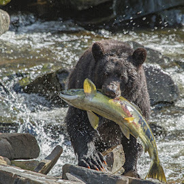 The Salmon are running by Brent Morris - Animals Other Mammals