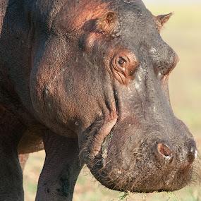 Hippo gracing by Joss van Wyk - Animals Other ( chobe, botswana, hippo, grass, africa )