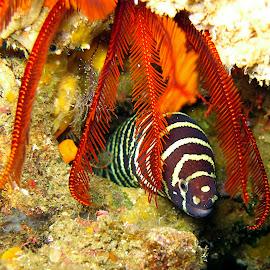 Curtains by Stuart Skene - Animals Sea Creatures ( marine, macro, underwater, eel, moray, scuba, dive )