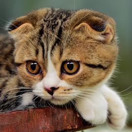by Neni Wijaya - Animals - Cats Portraits ( myhouse, cat, ciketing, animal, #GARYFONGPETS, #SHOWUSYOURPETS )