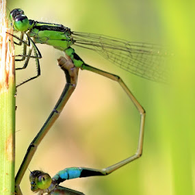 Dragonfly meeting by Barry Allan - Animals Other