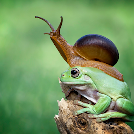 Let's go together by Kurito Afsheen - Animals Amphibians ( canon, animals, frog, indonesia, amphibian, frogs, stage, amphibians )