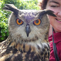 Dingle the Eurasian Eagle Owl
