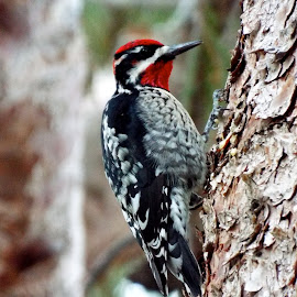 Sapsucker knocking out a tune by Donna Probasco - Novices Only Wildlife (  )