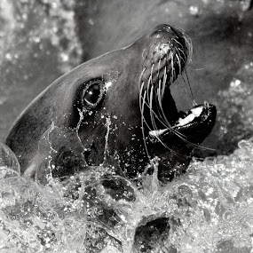 SeaLion by Ralph Harvey - Black & White Animals ( wildlife, ralph harvey, longleat, sealion, animal,  )