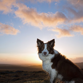HOLLY by Martin Scaife - Animals - Dogs Portraits ( collie, tin mine, sunset, dog, dartmoor, eylesbarrow )
