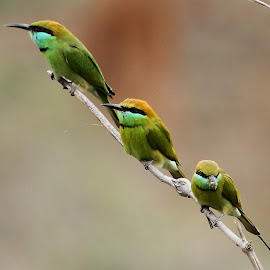 by Sankaran Balaji - Animals Birds ( animals, style, nature, sankaran balaji, green bee-eaters, birds )