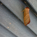 Burrito moth