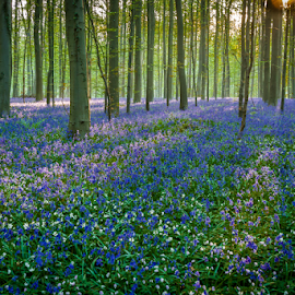Hallerbos - Belgium by Wim Moons - Landscapes Forests