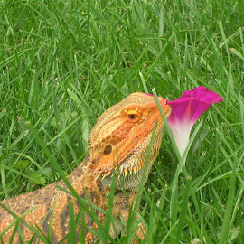 Our Bearded Dragon by Linda McCormick - Animals Reptiles ( lizard, supper, yum, bearded dragon, i love being outside )
