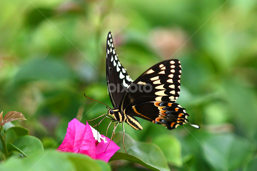 Just Landing Giant Swallowtail by Pablo Barilari - Animals Insects & Spiders ( butterfly, giant swallowtail, black butterfly )