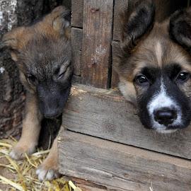 by Zanna Zaka - Animals - Dogs Puppies ( dogs, dogs playing, dog portrait )