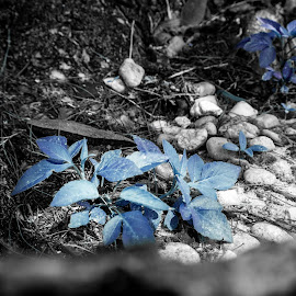 Blue herb in the wild by Matthew Dyson - Nature Up Close Trees & Bushes ( plant, nature, blue, rocks, natural )