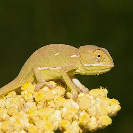 Flap-neck Chameleon by Warren Keith Dick - Animals Reptiles
