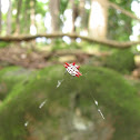 Spinybacked Orb-weaver