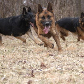 Game time! by Kira Brita - Animals - Dogs Running