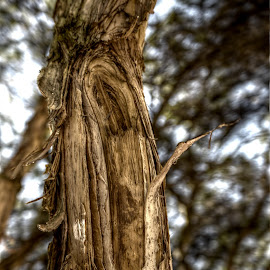 The Paperbark Tree by Scott Cove - Artistic Objects Other Objects ( hdr, tree, australia, paperbark )