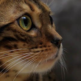 by Jane Bjerkli - Animals - Cats Portraits ( cat, pet, whiskers, bengal, portrait, eye, animal )