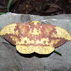 Imperial Moth (male)
