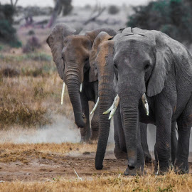 Elephants approaching by Wim Moons - Animals Other Mammals ( elephant, mamal, kenya, wildlife, africa )