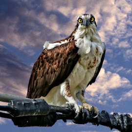 Serious osprey by Sandy Scott - Animals Birds ( osprey with fish, birds of prey, fishing birds., raptor, birds, osprey,  )