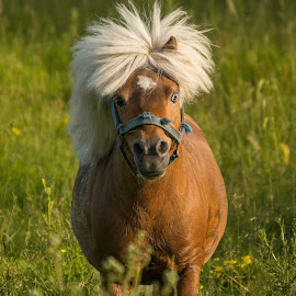 Star by Emily Nichols - Animals Horses ( pony, horse, hairstyle, mini, miniature )