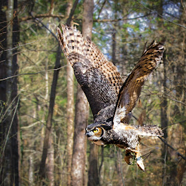 Great-horned in flight by Carol Plummer - Animals Birds (  )