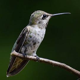Anna's Hummingbird by Jim Griffis - Animals Birds