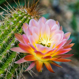 by Lisa Coletto - Nature Up Close Other plants ( plant, desert, flower, cactus )