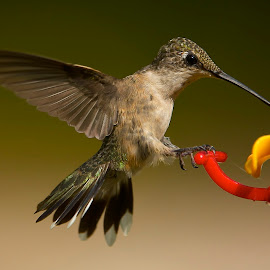 Hold On by Roy Walter - Animals Birds ( animals, wings, hummingbird, wildlife, feathers, birds )