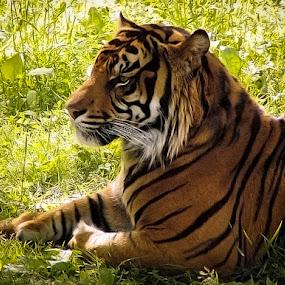 Tiger at rest. by Jim Westcott - Animals Lions, Tigers & Big Cats ( wild animals, wildlife, tigers )